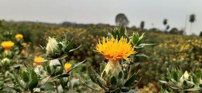Cultivo de azafrán genera excelentes ingresos a productores de Choré