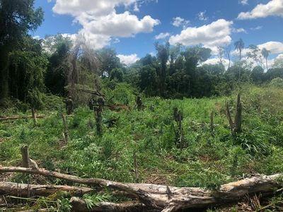 Destruyen 8 hectáreas de marihuana en Itakyry