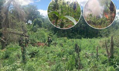 Destruyen parcelas de marihuana en etapa de cosecha en zona de Itakyry – Diario TNPRESS