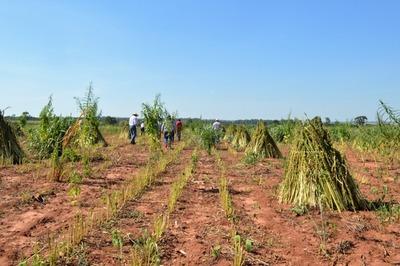 Productores beneficiados por proyecto de Itaipú obtienen más de USD 2,3 millones tras zafra sesamera