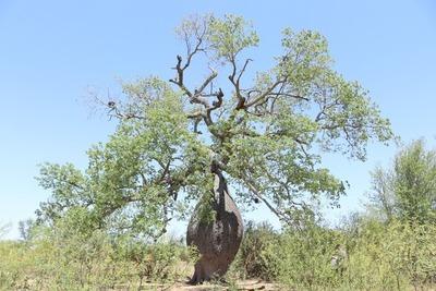 A Todo Pulmón midió a los 6 árboles más grandes del Chaco