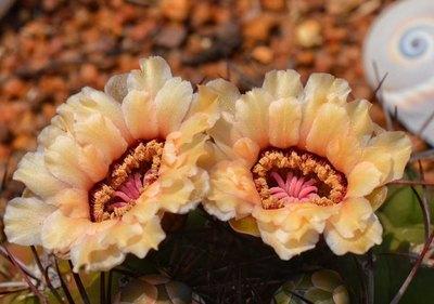 Crónica / Cactus paraguayos: varias especies están amenazadas
