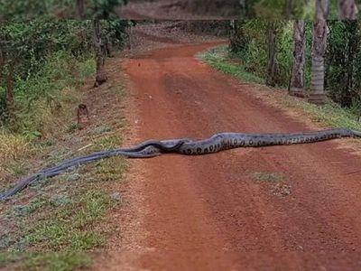 Se viraliza video de una anaconda que es seguida por un grupo de serpientes