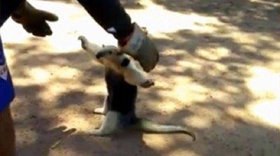 Rescatan a oso hormiguero en Guarambaré