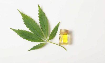 Senado ratifica uso y producción de marihuana medicinal – Diario TNPRESS