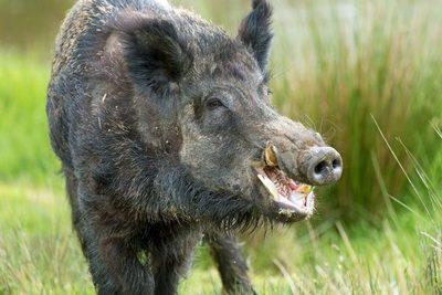 Alemania detectó casos de peste porcina africana en otras regiones