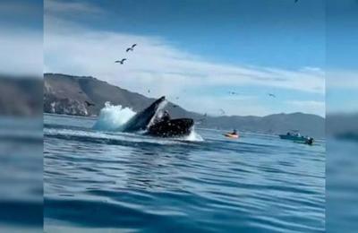 Una ballena jorobada atacó a dos deportistas en kayak y casi se las traga