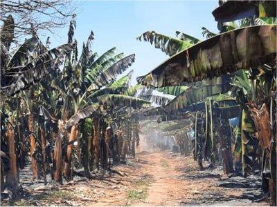 Incendio de bananal deja millonarias pérdidas en Tembiaporã