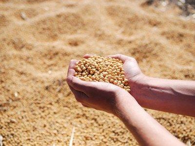 Se dejó de recaudar USD 75 millones por venta ilegal de semillas de soja