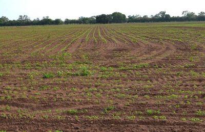 Lluvias  permiten realizar primeras siembras en zona del Chaco Central