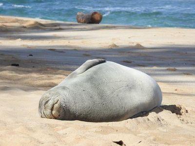 Científicos descubren una nueva especie de foca monje ya extinta