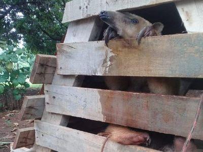 Rescatan animal silvestre nativo que era mantenido en cautiverio