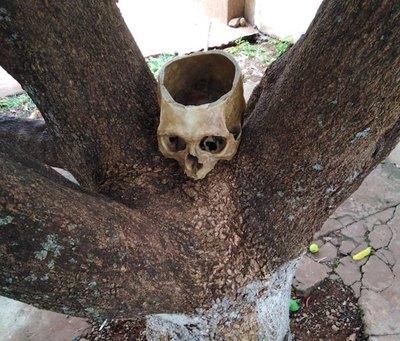 Crónica / Feroz cráneo coronó una planta de mango