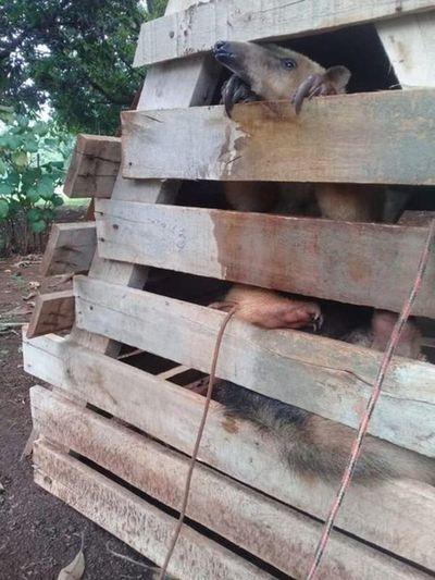 Ciudad del Este: Rescatan animal silvestre nativo que era mantenido en cautiverio