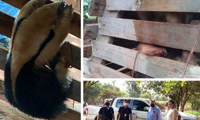 Rescatan un «Kaguaré» era mantenido en cautiverio