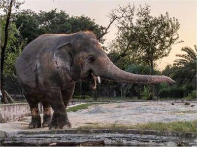 A ritmo de Sinatra, el elefante Kaavan se prepara para ser libre