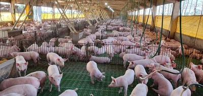 Uruguay auditará Frigorífico UPISA para empezar a comprar carne de cerdo