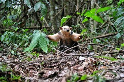 Oso melero es liberado en áreas protegidas