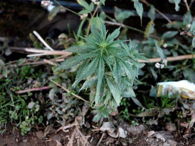 Legalización del cannabis medicinal avanza con reticencia en Costa Rica
