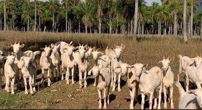 Crónica / Muchas piden leche de cabra para verse más jovencitas