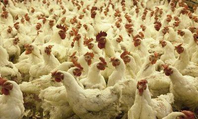 Sacrifican 25.000 aves de corral tras un primer foco de gripe aviar en Dinamarca