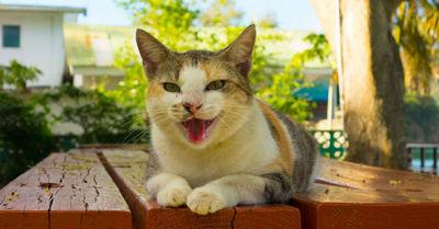 Crean traductor de maullidos para entender qué 'dicen' los gatos