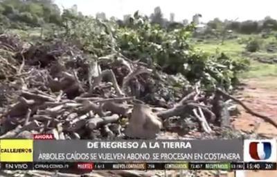 ¡De vuelta a la tierra! Árboles caídos son utilizados para abono