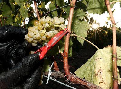 """Argentina desarrolla nueve variedades de uvas de mesa """"sin semilla"""""""