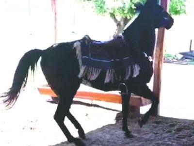 Campesino, el caballo bailarín que es furor