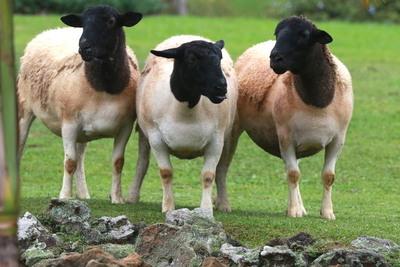 Turquía mira la ovinocultura paraguaya y pretende alcanzar una alianza bilateral