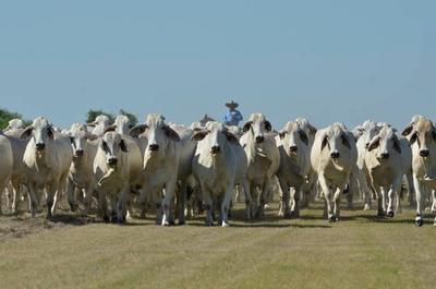 Precio del macho para faena en Paraguay es el segundo más alto de la región