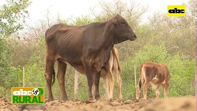 Abc Rural: Recuperación de vacas con cría tras sequía en el Chaco