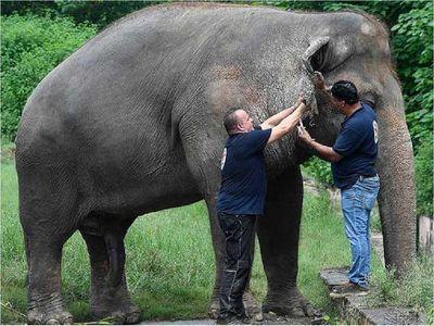 """Obeso y maltratado, el elefante """"más triste"""" por fin saldrá libre"""