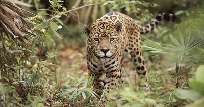 La Nación / Buscan proteger la vida del jaguareté en Paraguay, Argentina y Brasil