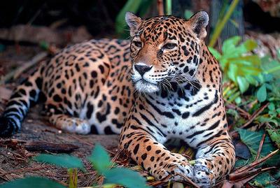Paraguay, Argentina y Brasil se unen para conservar al jaguar en el Bosque Atlántico