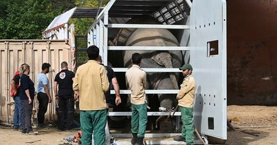 La Nación / El elefante maltratado en Pakistán será trasladado a Camboya