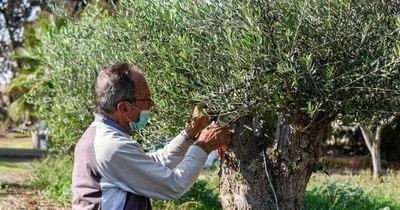 La Nación / El cambio climático amenaza el cultivo milenario de los olivos en Chipre