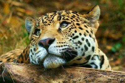 Día Internacional del Yaguareté: Buscan garantizar su protección y conservación
