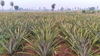 Dulce embarque: Arrancó exportación de piña a Argentina (más de 100 productores de Horqueta beneficiados)