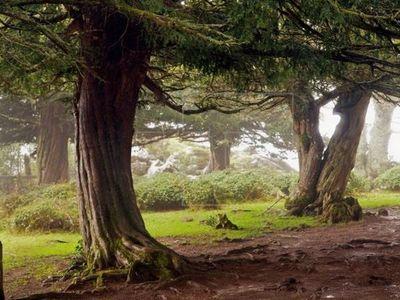 Árbol de 3.000 años cambia de sexo en el Reino Unido