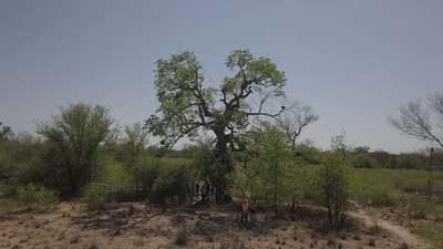 Dos árboles del Chaco fueron premiados entre los Colosos de la Tierra