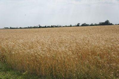 Panaderos protestan contra molineros ante escasez de trigo