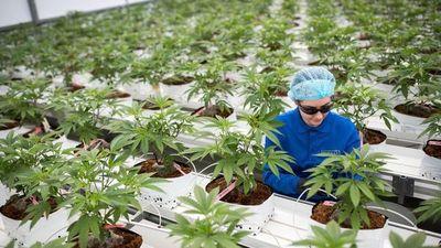 La ONU reconoce propiedades medicinales del cannabis