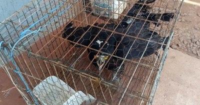 La Nación / Rescatan a un halcón herido en Capitán Bado
