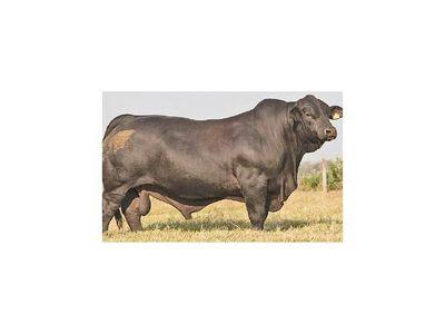 Toro y vaca paraguayos se llevaron el oro en Sudamérica