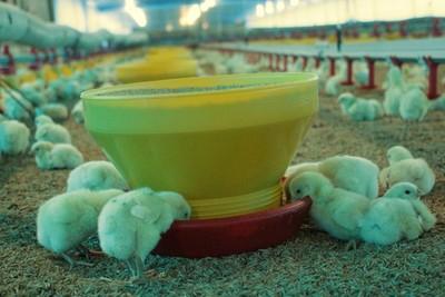 Sector de la producción de pollos denuncia millonarias pérdidas por cortes de energía eléctrica