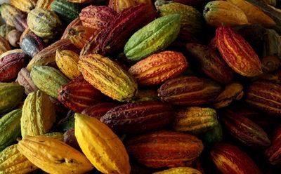 Campesinos unen fuerzas para mover con cacao la economía de un pueblo colombiano
