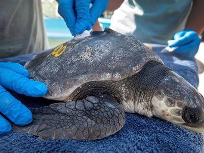 Del frío de Massachusetts a Florida: El rescate de tortugas del Atlántico