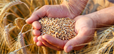 Productores apuestan al Trigo en el sistema de rotación de cultivos