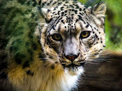 EEUU reporta el primer positivo de Covid-19 de un leopardo de las nieves